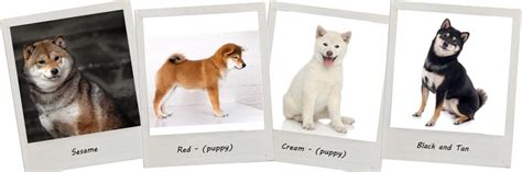Home Interiors Candles Baked Apple Pie Shiba Inu Colors 28 Images National Shiba Club Of