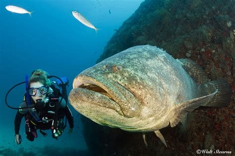 Grouper Fish Images grouper 100 more photos