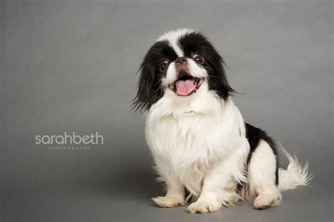 shih tzu chin mix the gallery for gt japanese chin shih tzu mix