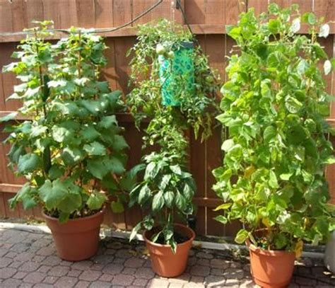 container gardening green beans grow veggies in containers gardening