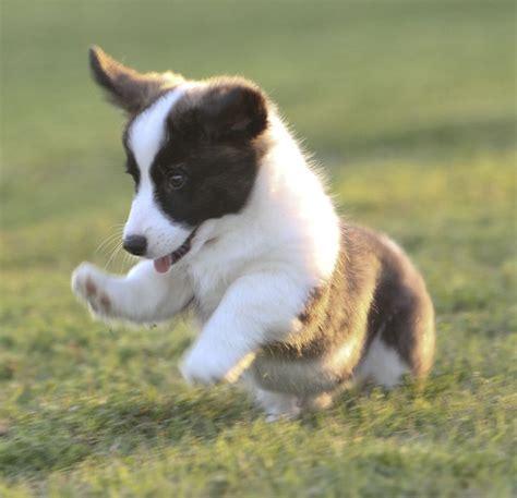 Cardigan Hush Puppies best 25 cardigan corgi puppies ideas on
