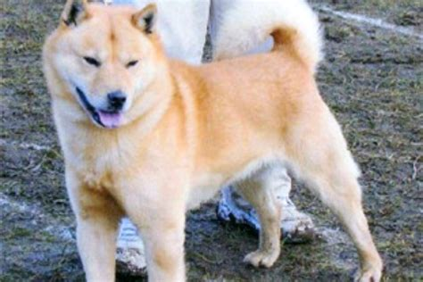 large breed from japan 10 japanese breeds pawculture