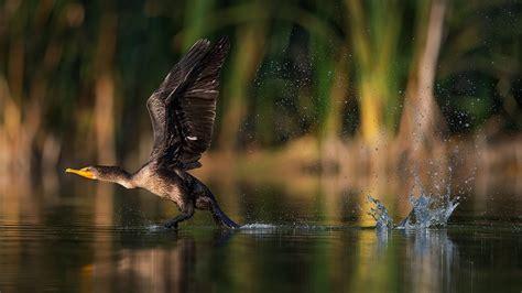 cormorant bird    lake water desktop