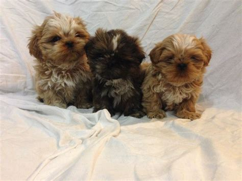 shih tzu birmingham beautiful shih tzu puppies birmingham west midlands pets4homes
