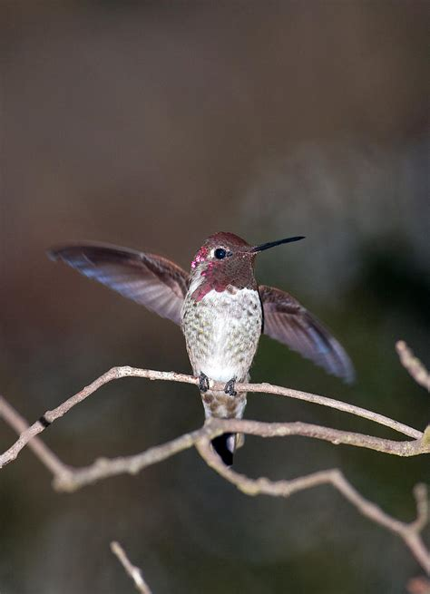 hummingbird in california by leo miranda