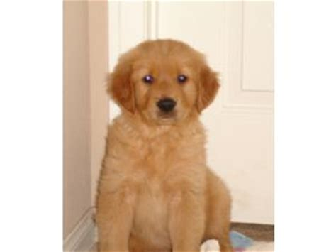 southern california golden retriever puppies golden retriever puppies in california