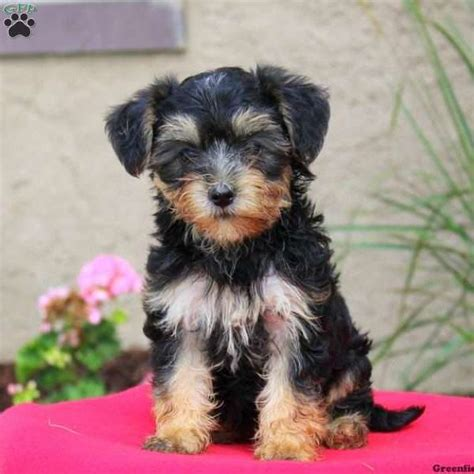 yorkie puppies mixed breed yorkie mix puppies for sale greenfield puppies