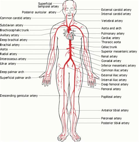 diagram of the arteries major veins diagram labeled human veins and