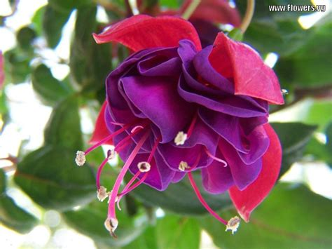 new world fuschia picture forwarded by cynthia abegail