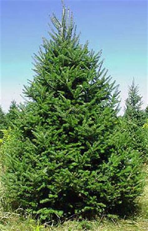 concolor smell like oranges christmas trees 05 concolor fir tp