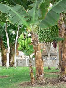 bananas on tree is a banana a fruit or an herb ask a naturalist com