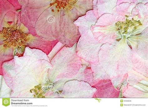 how to pressed flower l shades pink pressed flowers background stock photo image 31849946