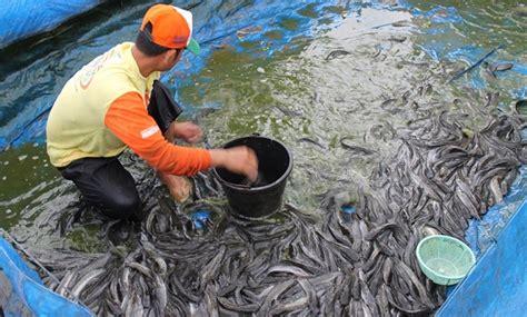Pakan Ikan Lele Kolam Terpal cara budidaya lele sangkuriang di kolam terpal kabartani