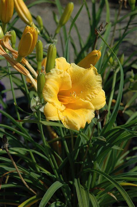Stelan Flower stella supreme daylily hemerocallis stella supreme in winnipeg whyte ridge lindenwoods