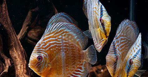 Burger Pakan Ikan Discus tips jitu memelihara ikan discus bagi pemula akuarium