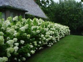 Climbing Plants For Shade In Pots - limelight hydrangea dirt simple