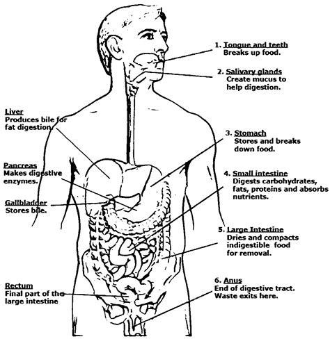 digestive system anatomy and physiology picture sketch
