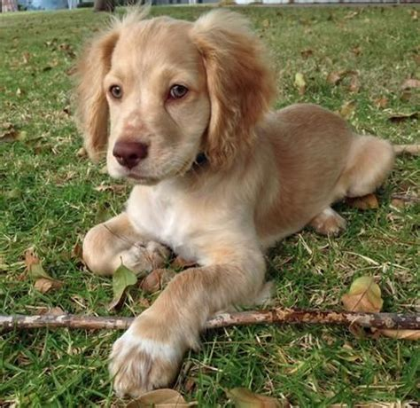 golden cocker retriever rescue 25 best ideas about golden cocker retriever on golden cocker spaniel