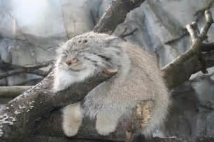 psbattle grumpy looking pallas cat photoshopbattles