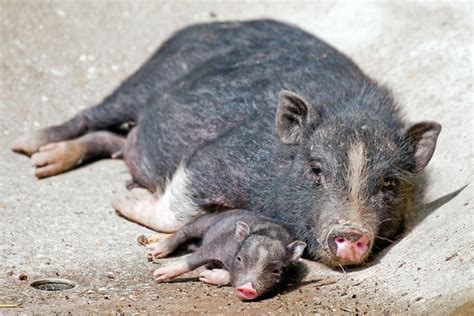 baby pot bellied pig at german zoo pets animals on holy cuteness