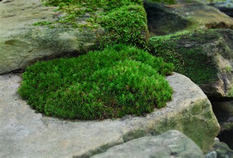 how many types of mosses are there how to grow moss moss and gardens