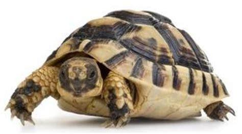 tartarughe alimentazione l alimentazione delle tartarughe terrestri aae onlus