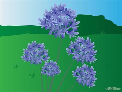 grow agapanthus seasons the o jays and videos