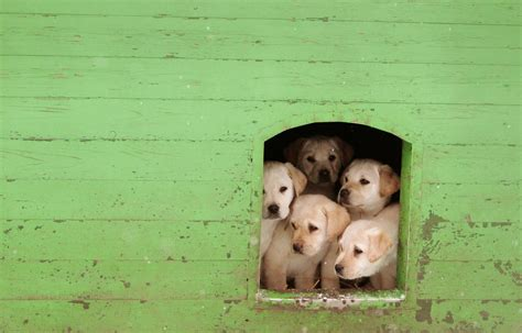 when can puppies get can your get you sick cdc investigating infection transmitted by petland puppies