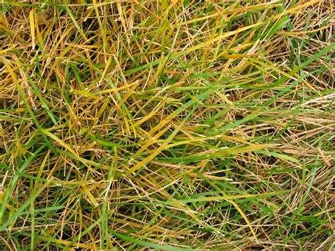 how to get rid of grass rust fungus 55 best images about lawn diseases on