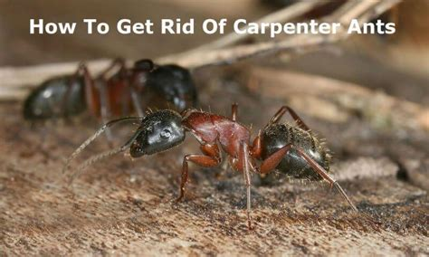 how to get rid of carpenter ants in bathroom how to get rid of carpenter ants effective solutions for