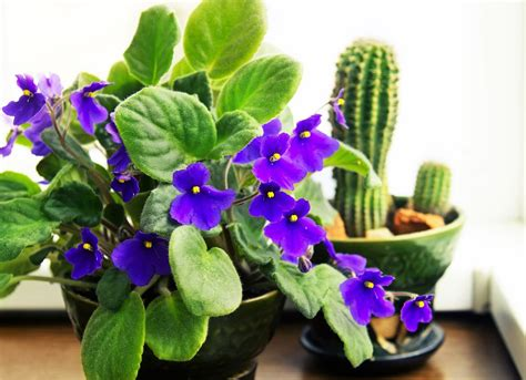 flowering houseplants   add beauty   home