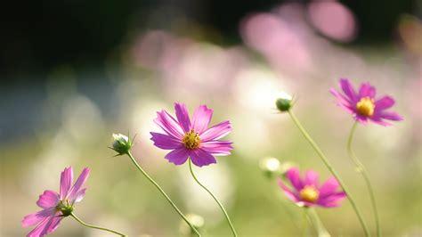 flowers that bloom at beautiful flowers wallpapers blumen rosa blume kosmos wallpaper allwallpaper in