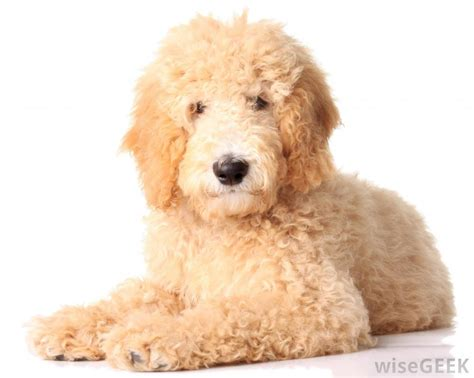 best food for goldendoodles what are the best tips for grooming a goldendoodle