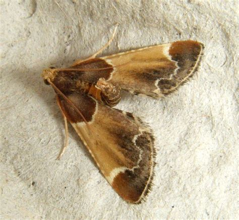 Pantry Moth Identification by Meal Moth Naturespot