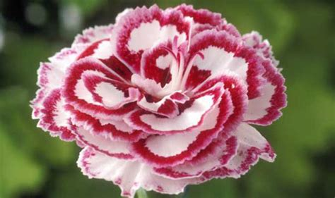 pink flower garden alan titchmarsh s tips on growing pink flowers in your