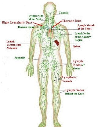 lymphatic drainage system diagram the basic building block of the entire immune system is