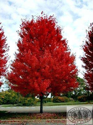 Lipstik Nazzua winter hill tree farm autumn blaze lipstick maple acer