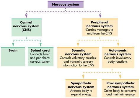Organization Of The Nervous System Worksheet Answers organization of the nervous system worksheet answers