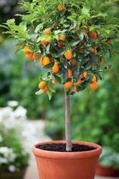 Harga Bibit Jeruk Nagami jual bibit jeruk nagami kualitas terbaik murah bergaransi