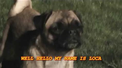 loca the pug loca the pug quot the pug that couldn t run quot