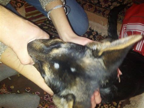 bald spots on dogs bumpy bald spot on pictures to pin on pinsdaddy