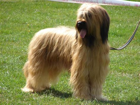 briard breed briard sheepdog breeds picture