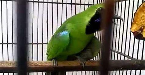 Harga Pakan Burung Nuri pakan pakan terbaik burung cucak hijau