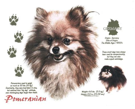 pomeranian coughing and 46 best animals dogs pomeranians images on