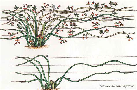cura roselline in vaso come potare le cura delle cura delle piante