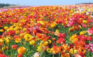 Flowers In Irvine Ca - i heart ranunculus for a wedding green wedding shoes