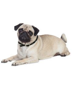 precious pugs rescue and adoption png transparent recherche png chien search and dogs