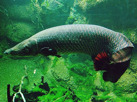 Amazon Fish | why the amazon s biggest fish is quickly going extinct