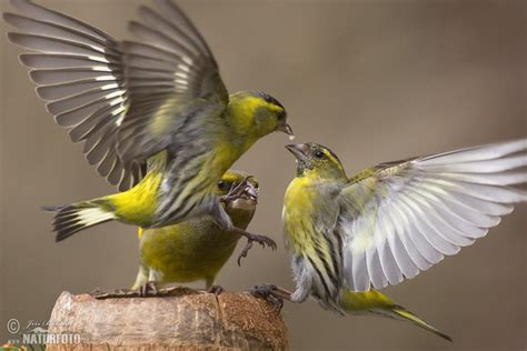 siskin pictures siskin images naturephoto