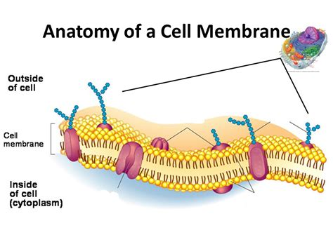 cell membranethe fence   ranch    cell mem